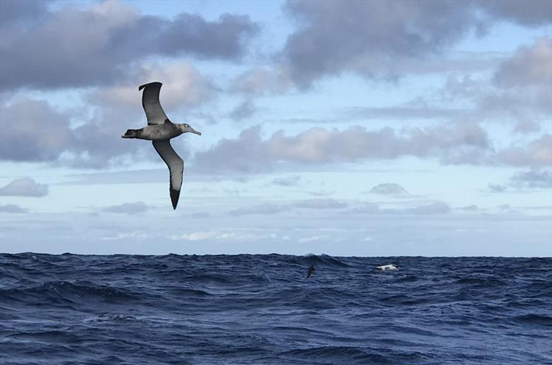 An albatross flies a lonely Southern Ocean sky photo copyright Image courtesy of Randall Reeves taken at New York Yacht Club and featuring the Cruising Yacht class