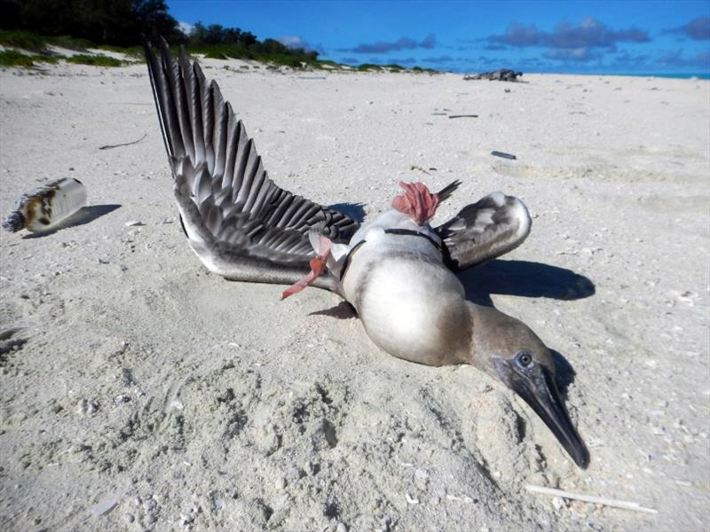 A booby bird found on Midway Atoll with it's wings pinned by a plastic ring from an eel cone trap - photo © NOAA Fisheries